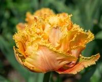 Kwitnie pomarańczowego tulipsin ogród Obrazy Stock
