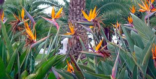 Kwitnie ptaka raju lub strelitzia reginae w parku Cadiz, Andalusia Hiszpania obrazy stock