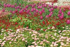 kwitnie purpurowych tulipany Zdjęcie Royalty Free