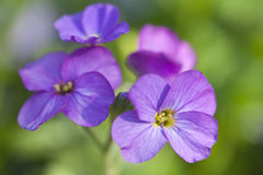 kwitnie purpury fotografia stock
