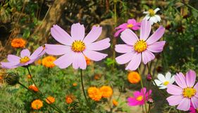 kwitnie purpury zdjęcie royalty free
