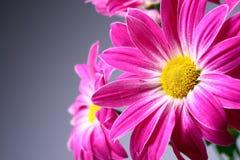 kwitnie purpury Obraz Royalty Free