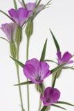 kwitnie purpury Zdjęcie Stock