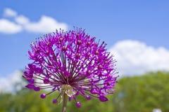 kwitnie purpury Obrazy Royalty Free