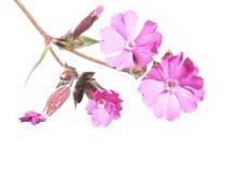 kwitnie purpury Obraz Stock