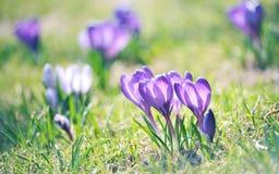 kwitnie purpury dzikie Zdjęcia Royalty Free