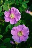 kwitnie różany dzikiego fotografia stock