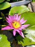 kwitnie, różowi, zielenieje, miód, pszczoła, Obraz Stock