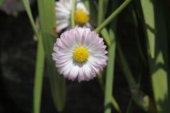 kwitnie różowego biel Zdjęcia Royalty Free