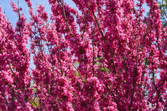 kwitnie redbud drzewa Zdjęcia Royalty Free