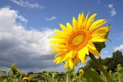 kwitnie słońce Fotografia Royalty Free