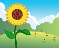 kwitnie słonecznika Obrazy Stock