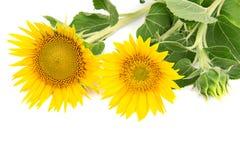 Kwitnie słoneczniki Obrazy Royalty Free