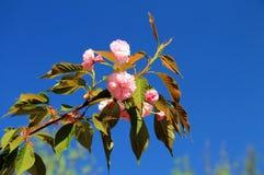 kwitnie Sakura Zdjęcia Royalty Free