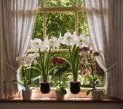 kwitnie starego udziału okno Zdjęcie Stock