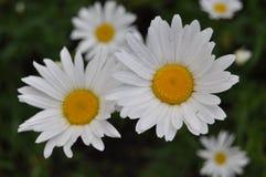 Kwitnie stokrotki w podmiejskim terenie Zdjęcie Stock