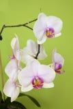 kwitnie storczykowego biel Fotografia Stock
