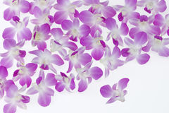 kwitnie storczykowego Singapore zdjęcia stock