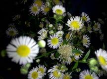 kwitnie tło flor bukieta rumianki obrazy royalty free