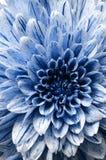 Kwitnie tło i szczegóły błękitny aster, makro- fotografia royalty free