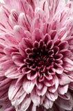 Kwitnie tło i szczegóły purpurowy aster, makro- obraz stock