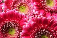 Kwitnie tło i szczegóły różowy aster, makro- fotografia stock