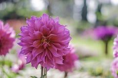 Kwitnie Thailand zdjęcie stock