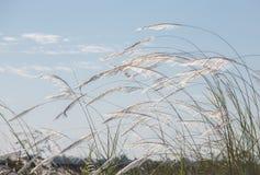 Kwitnie trawy Fotografia Royalty Free