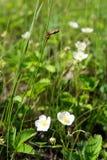 kwitnie truskawki dzikiej Obrazy Royalty Free