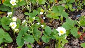 Kwitnie truskawki wiosnę zbiory wideo