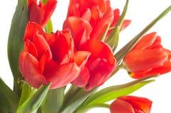 Kwitnie tulipanowego czerwonego bukiet fotografia royalty free