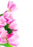 kwitnie tulipanu Obrazy Stock