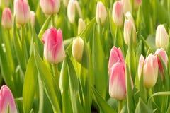 kwitnie tulipanu Zdjęcia Royalty Free