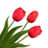 kwitnie tulipany Obrazy Stock
