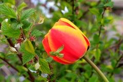 kwitnie tulipany Obrazy Royalty Free
