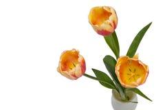 Kwitnie tulipany na białym tle, pracowniany oświetlenie obraz stock