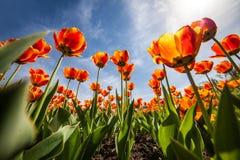 Kwitnie tulipany, niebieskie niebo, ntyulpany Zdjęcia Royalty Free