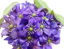 kwitnie uroczy fiołkowy dzikiego Zdjęcia Royalty Free