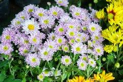kwitnie w ogródzie, piękni kolorowi kwiaty które rośli z naturalnym Fotografia Stock