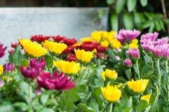 kwitnie w ogródzie, piękni kolorowi kwiaty które rośli z naturalnym Obrazy Royalty Free
