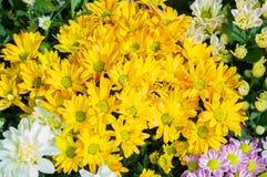 kwitnie w ogródzie, piękni kolorowi kwiaty które rośli z naturalnym Obraz Royalty Free