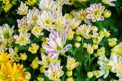 kwitnie w ogródzie, piękni kolorowi kwiaty które rośli z naturalnym Zdjęcie Royalty Free