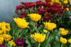 kwitnie w ogródzie, piękni kolorowi kwiaty które rośli z naturalnym Fotografia Royalty Free