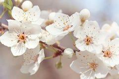 kwitnie wiśni Obraz Royalty Free