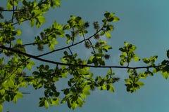 Kwitnie wiśni gałąź zaświecali słońcem na letnim dniu w lesie zdjęcie royalty free