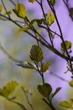 Kwitnie wiśni gałąź zaświecali słońcem na letnim dniu w lesie zdjęcia stock