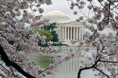 kwitnie wiśnia obramiającego Jefferson pomnika Zdjęcia Stock