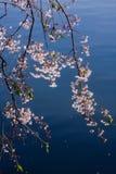 kwitnie wiśni Zdjęcia Stock