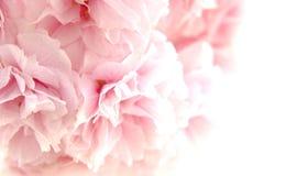 kwitnie wiśni Fotografia Royalty Free