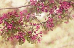 kwitnie wiśni Zdjęcie Royalty Free